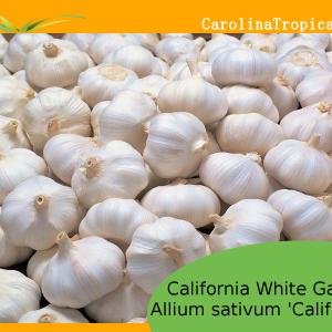 California White Garlic (Allium sativum 'California') – 1 bulb - ORGANIC