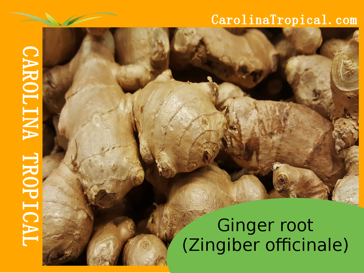 Ginger Root - 1lb