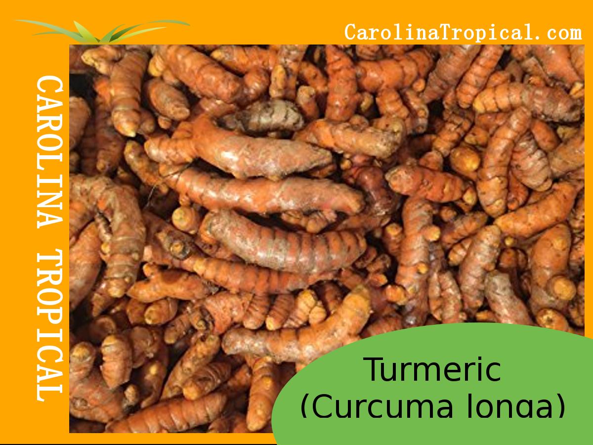 Turmeric Root - (Curcuma longa) – NON GMO - ORGANIC
